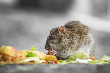 Close-up of a rat eating the fruit and vegetable
