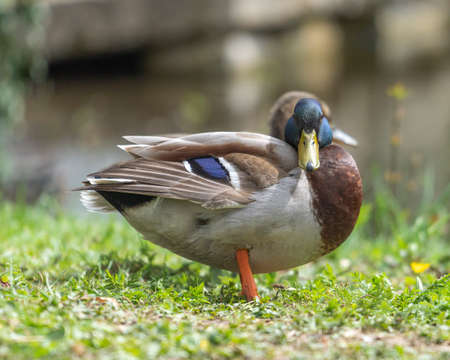 Close up of a duck in the morning in a park. The duck cleans its plumage and cleans itself. Stock fotó