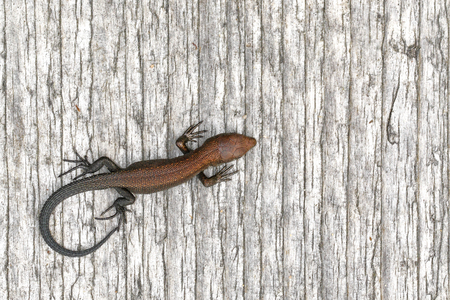 viviparous lizard: Juvenile viviparous lizard, Zootoca vivipara, basking on the duckboard in Finland Stock Photo