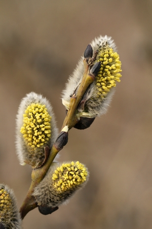 great sallow: Branch of Salix caprea with male catkins at early spring Stock Photo