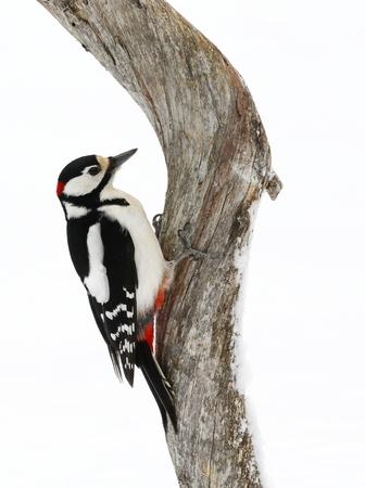 deadwood: Male Great spotted woodpecker, Dendrocopos major, on deadwood branch in winter in Kuusamo in Finland.