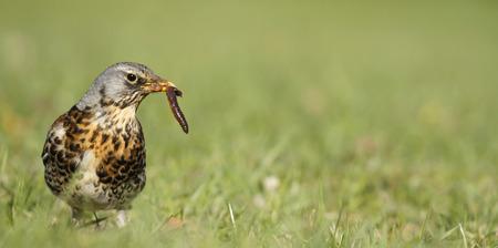 Early bird fieldfare, Turdus pilaris, on the grass in the park catching a worm. Stok Fotoğraf