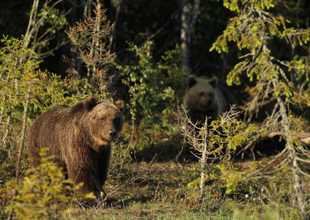 Two Eurasian Brown Bears (Ursus arctos arctos) In Kuusamo in Finland, near the Russian border. Stock Photo