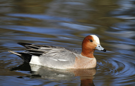Male Eurasian wigeon, Anas penelope, swimming in a pond in Tampere Finland.