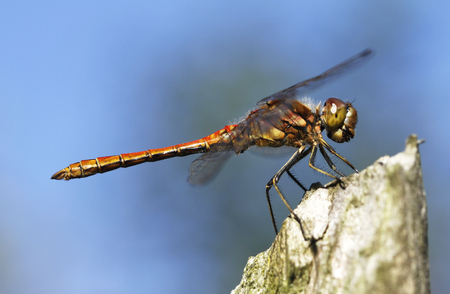 European dragonfly vagrant darter (male), Sympetrum vulgatum in Finland.