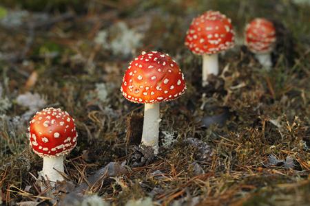 Red fly agaric mushroom, Amanita muscaria, poisonous and hallusinogic mushroom. Stock Photo