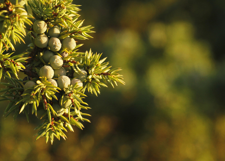 Young berries of common juniper, Juniperus communis, in Kokar, in Aland Island, Finland. Stock Photo