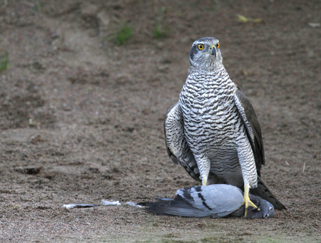 Goshawk, Accipiter gentilis, taking a breath inside the bunker of a golf course after catching and killing the feral pigeon, Columba livia domestica in Espoo, Finland. Stock Photo