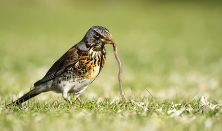 Early bird fieldfare, Turdus pilaris, on the green grass in the park catching a worm.