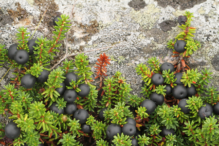 Ripe crowberries in Finland. Stock Photo