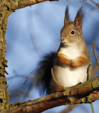 Red Squirrel Sciurus vulgaris sitting on a tree branch in Finland.