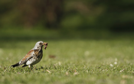 Early bird fieldfare, Turdus pilaris, on the grass in the park catching a worm. Stock Photo