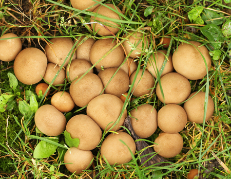 Group of Stump puffballs, Lycoperdon pyriforme, growing on grass.