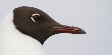 Common black-headed gull, Larus ridibundus, in Finland.