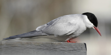 Arctic tern, Sterna paradisaea, on a pier rail spotting fishes in the River Aurajoki in Turku, Finland.