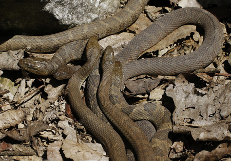 Lake Erie Watersnakes (Nerodia sipedon insularum) mating beneath the rocks by the Lake Erie at Lighthouse Point Provincial Nature Reserve in Pelee Island, Ontario, Canada. Stock Photo