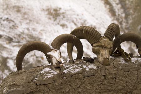 Bharal skulls on a wall of the cattle shelter in Rumbak village in Hemis High Altitude national park, India.