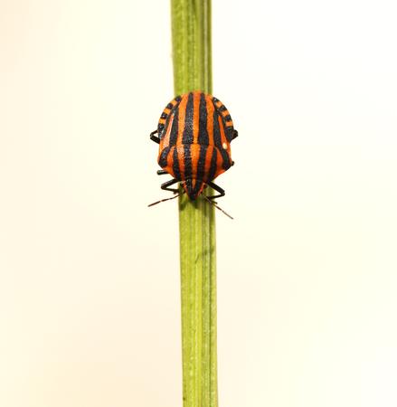Italian striped bug, subspecies Graphosoma lineatum italicum in France. Stock Photo