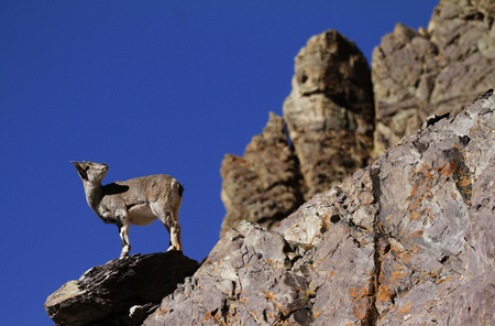 Bharal or blue sheep Pseudois nayaur in Rumbak Valley in Ladakh, India. Hemis High Altitude National Park.