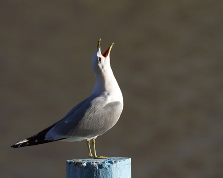 Common gull Larus canus on top of the pole screaming. Stock Photo