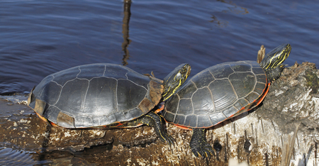Western painted turtles sunning themselves on the log in Boulevard Lake, Thunder Bay; Ontario, Canada. Stock Photo