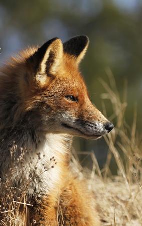 Young urban fox in Turku, Finland. Stock Photo