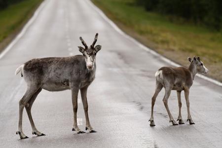 Female reindeer with calf on the drive way near Sodankylä, in Finnish Lapland.