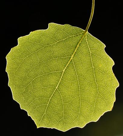 Single backlit aspen leaf.