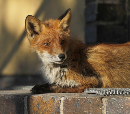 Young urban fox sunning on the doorstep of a house in Turku, Finland.