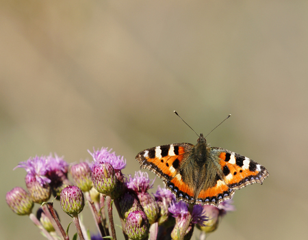 Small tortoiseshell feeding on creeping thistle in Finland.