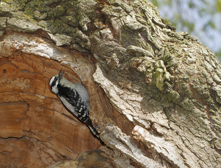 Downy woodpecker, Dryobates pubescens, searching insects inside tree trunk in Centre Island in Toronto, Ontario, Canada. Stock Photo