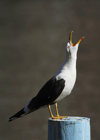 Adult Lesser Black-backed Gull, Larus fuscus, screaming on the pole in Finland.