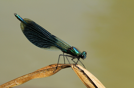 Male Banded demoiselle, Calopteryx splendens, resting on a blade of grass in Finland.