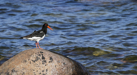 Oystercatcher, Haematopus ostralegus, standing on a stone at the seashore of Baltic Sea in Gotland Island, Sweden.