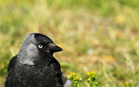 Western jackdaw, Coloeus monedula, on grass in Visby, Gotland, Sweden.