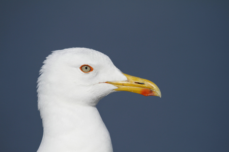 Head of a adult Lesser Black-backed Gull, Larus fuscus, against blue sky.