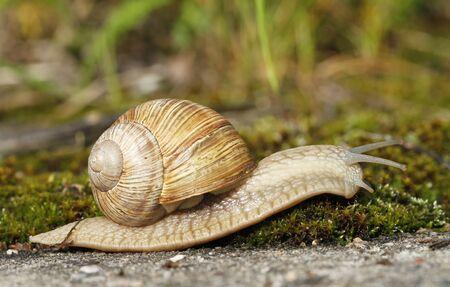 Edible snail, Helix pomatia, crawling on moss near Ungru castle ruins in Estonia. Stock Photo