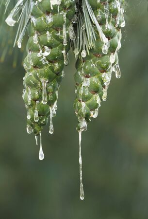 Swiss stone pine, Pinus sembra, unripe green cones with lots of resin drops in Finland.