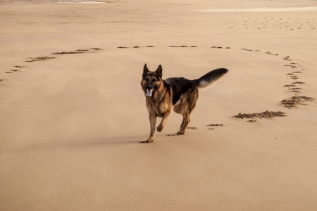 German shepherd running on the beach Stock Photo - 25084891