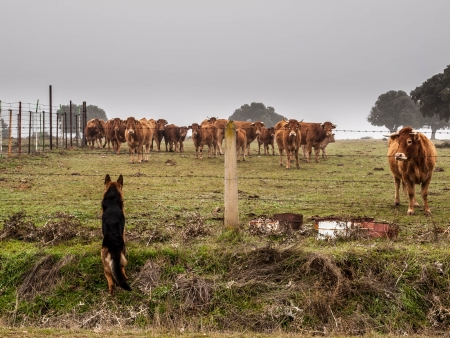 German Shepherd looking after cows Stock Photo - 25085032
