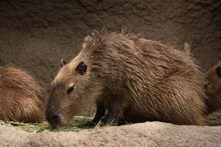 Capybara 写真素材