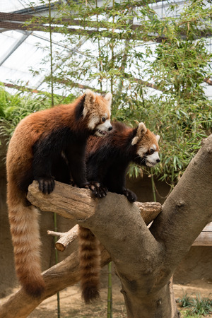 Red Panda 写真素材
