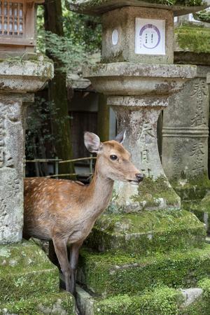 NARA Park deer 写真素材