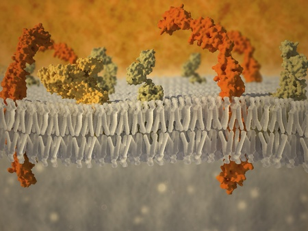 membrane: Artistic impression of a plasma membrane of a human cell. The plasma membrane is a bilayer composed of phopholipids in which lots of transmembrane and surface proteins reside. Its function is to separate the intracellular content