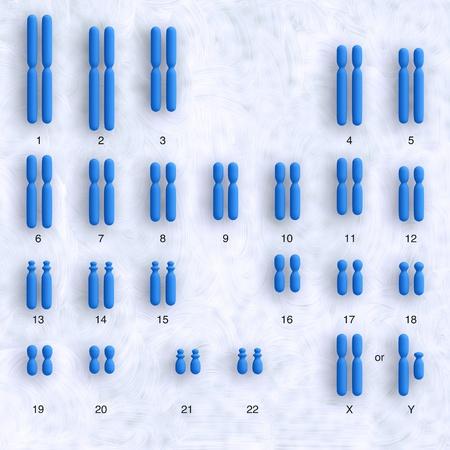 すべての染色体を示す人間の karyotype の模式図 写真素材
