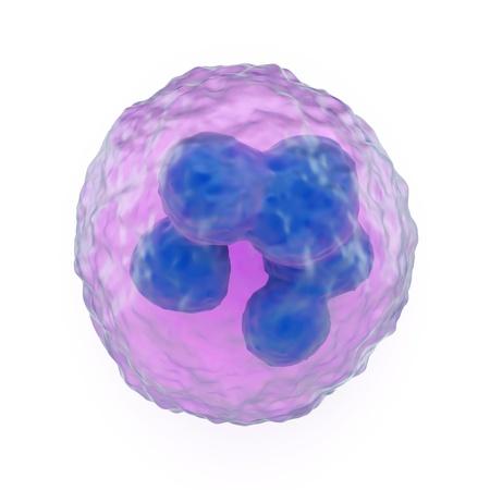 globuli bianchi: 3d illustrazione di un granulociti, che sono leucociti fagociti o globuli bianchi che hanno granuli citoplasmatici, che mostra il nucleo lobato