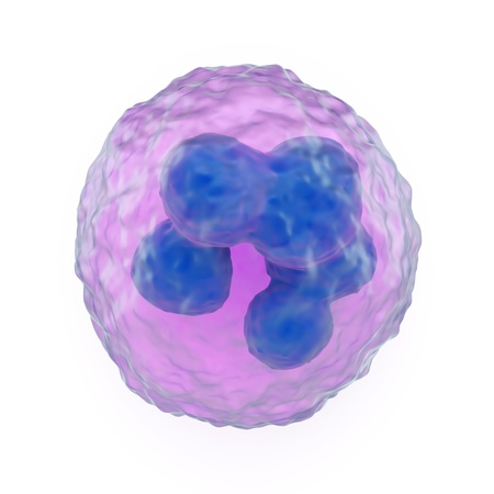 bactericidal: 3d ilustraci�n de un granulocitos, que son los leucocitos fagoc�ticas o gl�bulos blancos que tienen gr�nulos citoplasm�ticos, mostrando el n�cleo lobulado