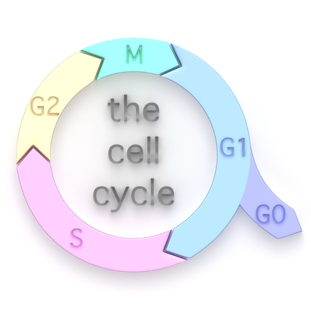 細胞周期、細胞分裂サイクル、中に真核生物の細胞を複製し、娘の細胞の分割によってそれ自身を複製の連続相を示す図 写真素材 - 21449803