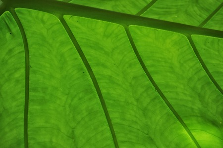 veins: Close up of leaf showing veins. Stock Photo