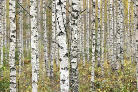 birches: Birches in autumn forest